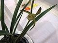 報歲水晶 Cymbidium sinense 'Crystal' -香港沙田國蘭展 Shatin Orchid Show, Hong Kong- (24494676033).jpg