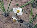 慈姑-雄花 Sagittaria sagittifolia v leucopetala (Sagittaria trifolia v sinense) -香港花展 Hong Kong Flower Show- (9227098423).jpg