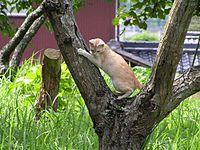きゅっきゅっきゅっニャーと爪を研ぐ猫