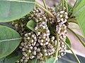 牛耳楓 Daphniphyllum calycinum -香港青松觀 Tuen Mun, Hong Kong- (9227115971).jpg
