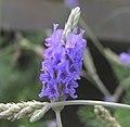 狹葉薰衣草 Lavandula angustifolia -香港嘉道理農場 Kadoorie Farm, Hong Kong- (9198150959).jpg