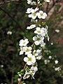 珍珠繡線菊(噴雪花) Spiraea thunbergii -南京梅花山 Nanjing, China- (9237376965).jpg