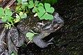 盤古蟾蜍 Bufo bankorensis - panoramio.jpg