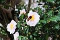 茶花 Camellia - panoramio.jpg