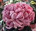 菊花-汴梁桃 Chrysanthemum morifolium 'Kaifeng Peach' -香港圓玄學院 Hong Kong Yuen Yuen Institute- (11980832106).jpg