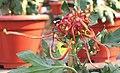 菊花-紫胡紅寶玉 Chrysanthemum morifolium 'Red Precious Jade' -中山小欖菊花會 Xiaolan Chrysanthemum Show, China- (12049601473).jpg