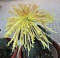 菊花-金霞冠 Chrysanthemum morifolium 'Golden Cloud Hat' -香港圓玄學院 Hong Kong Yuen Yuen Institute- (12099003015).jpg