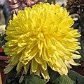 菊花-黃荷球 Chrysanthemum morifolium 'Yellow Lotus Ball' -中山小欖菊花會 Xiaolan Chrysanthemum Show, China- (12129084755).jpg