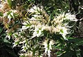 藍薊屬 Echium giganteum -比利時國家植物園 Belgium National Botanic Garden- (9226996353).jpg