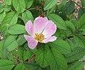 蘋果薔薇 Rosa villosa -比利時 Ghent University Botanical Garden, Belgium- (9193424294).jpg