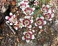 虎耳草屬 Saxifraga cotyledon Southside Seedling -比利時 Leuven Botanical Garden, Belgium- (9252396373).jpg