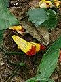 跳舞女郎 Thunbergia mysorensis 20200307185911 07.jpg