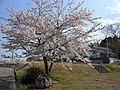 長養寺付近の桜 Cherry blossom near Chōyōji - panoramio.jpg