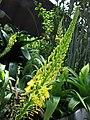 鱗芹屬 Bulbine natalensis -新加坡濱海灣花園 Gardens by the Bay, Singapore- (24903989012).jpg
