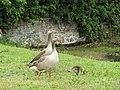 -2020-06-10 Greylag Goose (Anser anser), Paston village pond, Norfolk (1).JPG
