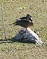 060328 Brazilian duck pair CN - Flickr - Lip Kee.jpg