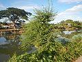 09424jfPaddy fields trees irrigation canals Farm to Market Road Talampas Bustos Bulacanfvf 23.jpg