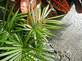 0998Ornamental plants in the Philippines 57.jpg