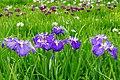 140614 Yagyu Iris Garden Nara Japan02bs5.jpg
