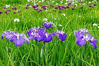 A field of purple, white and blue iris flowers