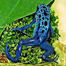 Blue poison dart frog - Wikipedia