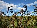 20120922Phytolacca americana - Solidago canadensis2.jpg
