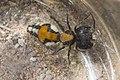 201227Mutillidae.004.jpg