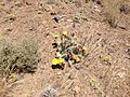2014-06-28 12 44 22 Prickly pear cactus with yellow and orange flowers on Twin Peaks in the Adobe Range near Elko, Nevada.JPG