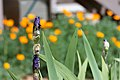 """2014-365-112 """"Those Orange Flowers Think They Are So Hot…"""" (13979162365).jpg"""