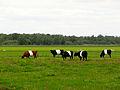 2014055 Lakenvelders in Polder Giethoorn.jpg