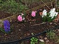 2015-04-10 07 42 59 Hyacinths on Hoga Road in Sterling, Virginia.jpg