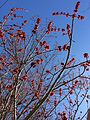 2015-04-12 14 21 26 Female Red Maple flowers on Duke Street in Ewing, New Jersey.jpg