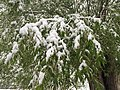 2015-05-07 07 37 50 New green leaves covered by a late spring wet snowfall on a willow on Water Street in Elko, Nevada.jpg
