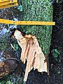 2015-06-18 17 15 55 Large branch broken off of a Bradford Pear during a severe thunderstorm on Tranquility Court in the Franklin Farm section of Oak Hill, Virginia.jpg