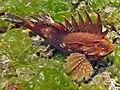 2015 09 Bali 84 spiky waspfish (21472121753).jpg