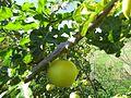 2016 28 November, Black spine nightshade, (Solanum linnaeanum), Albufeira (5).JPG