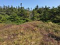 2017-09-11 13 00 31 Spruce-fir forest along the Long Trail between the Nose and the Chin of Mount Mansfield within Mount Mansfield State Forest in Stowe, Lamoille County, Vermont.jpg