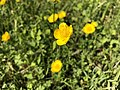 2019-04-27 15 24 01 Buttercups in a lawn in the Franklin Farm section of Oak Hill, Fairfax County, Virginia.jpg