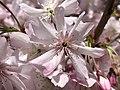 2020-03-22 13 10 11 Autumn Cherry flower along Lees Corner Road in the Franklin Farm section of Oak Hill, Fairfax County, Virginia.jpg