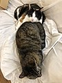 2020-04-30 11 41 52 A Calico cat and a tabby cat cuddling on a couch in the Franklin Farm section of Oak Hill, Fairfax County, Virginia.jpg