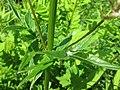 20200621Valeriana officinalis4.jpg