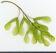2020 year. Herbarium. Acer negundo. img-010.jpg