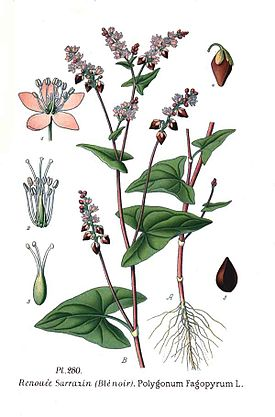 280 Polygonum fagopyrum L.jpg