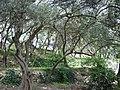 300-летние оливы. Никитский ботанический сад. Никита. Ялтинский горсовет. Крым. Июнь 2009 - panoramio.jpg