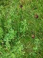 3 kleine Pilze auf dünnen Stilen.JPG