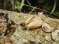 4300Ants of the Philippines Common houseflies 17.jpg