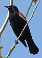 4396 red winged blackbird munsel odfw (4438168099).jpg