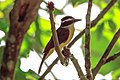 4 day trip to La Selva Lodge on the Napo River in the Amazon jungle of E. Ecuador - Great Kiskadee (Pitangus sulphuratus) - (26261086383).jpg