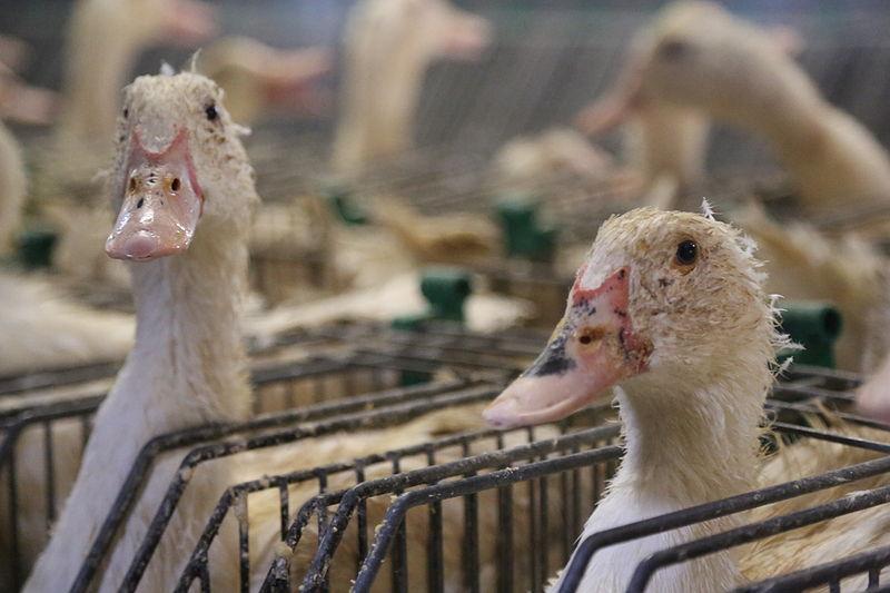 File:53-gavage-foie-gras-cages-individuelles-France-2012.jpg