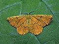 70.230 BF1924 Orange Moth, Angerona prunaria (3121676479).jpg